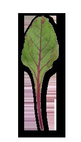 ビーツの葉